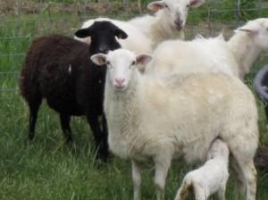 2011 Lambs 1