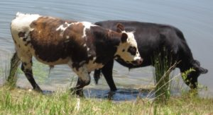 Cows-boys in pond