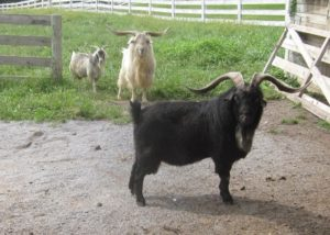 cashmere goats bucks
