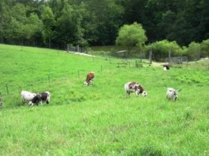 cows, sheep, goats, donkeys graze together rotating paddocks