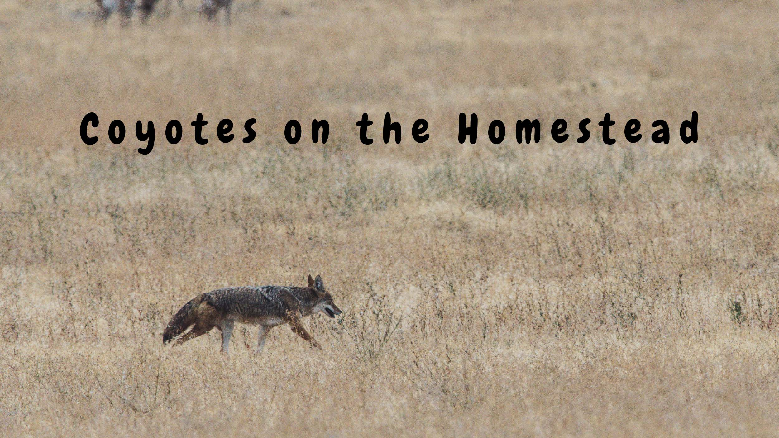 Coyotes on the Homestead