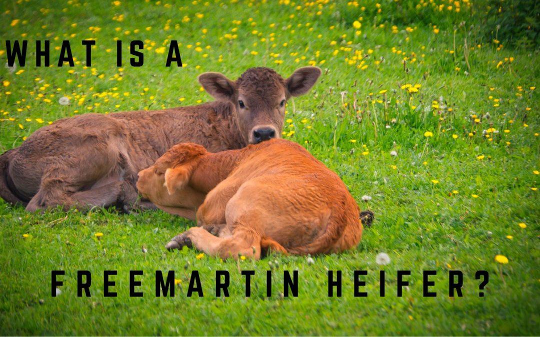 freemartin heifer