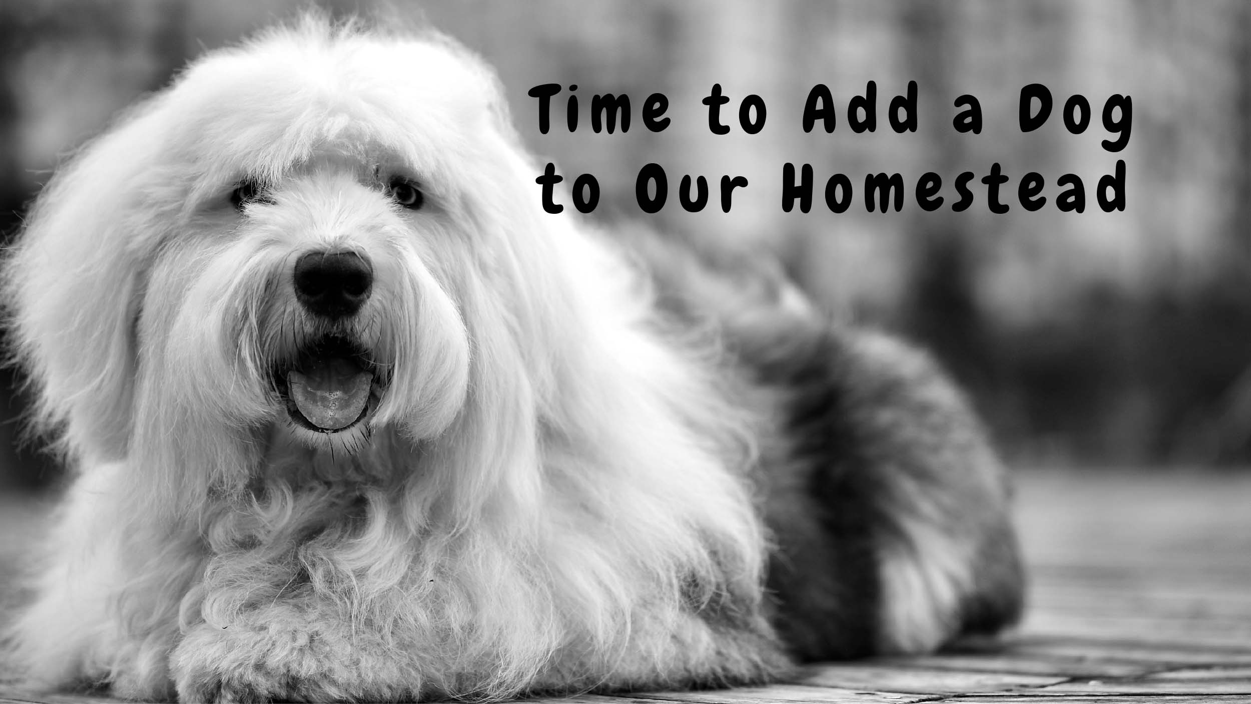 Livestock Guardian Dogs; Let's Add to Our Homestead