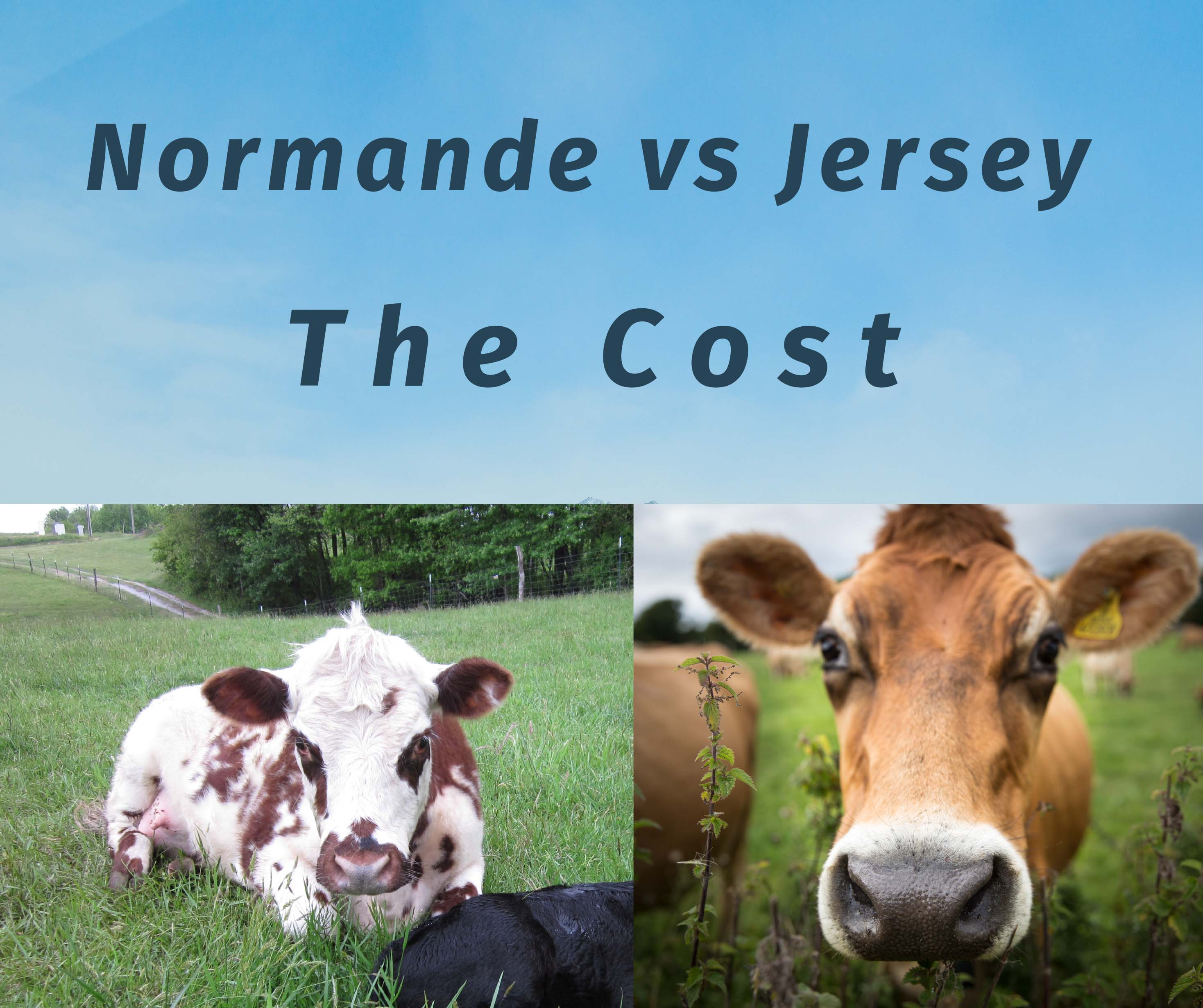 Normande vs Jersey — the Cost