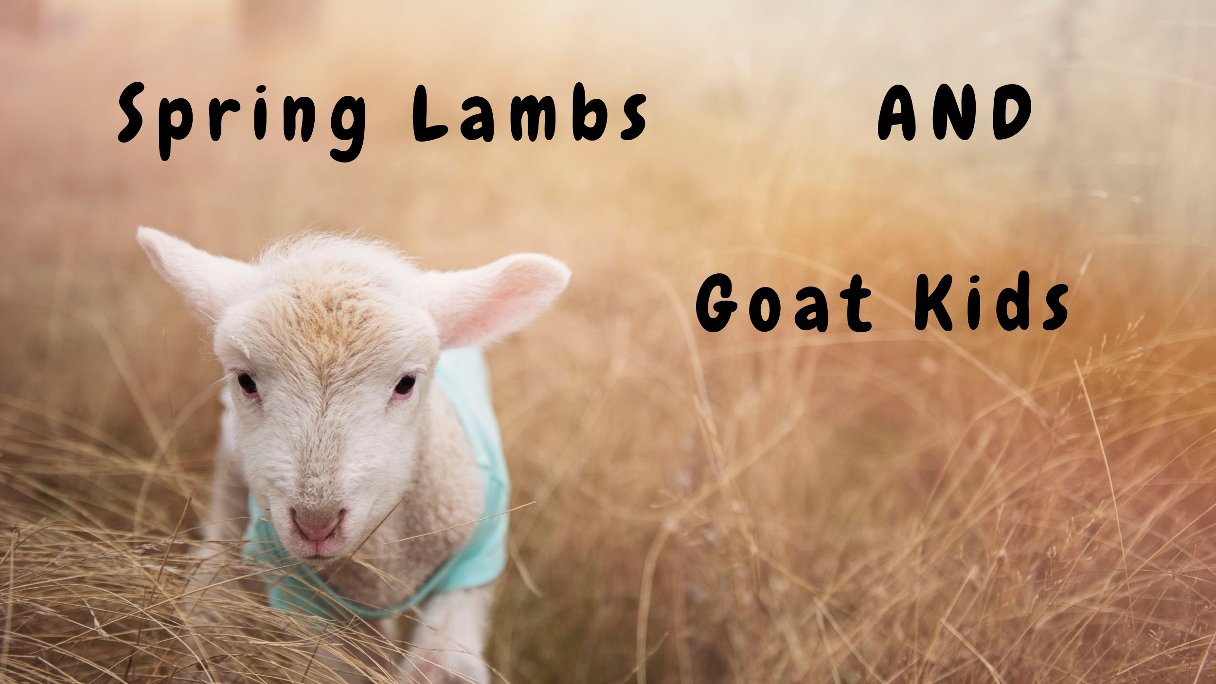 Spring Lambs and Goat Kids
