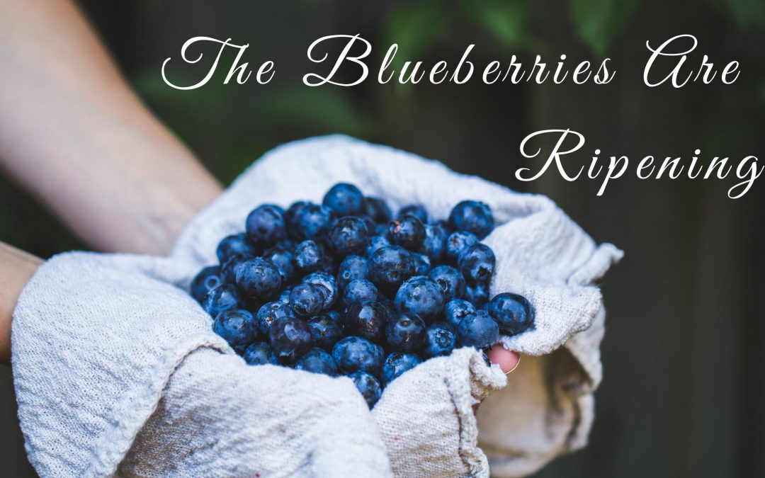 blueberries are ripening