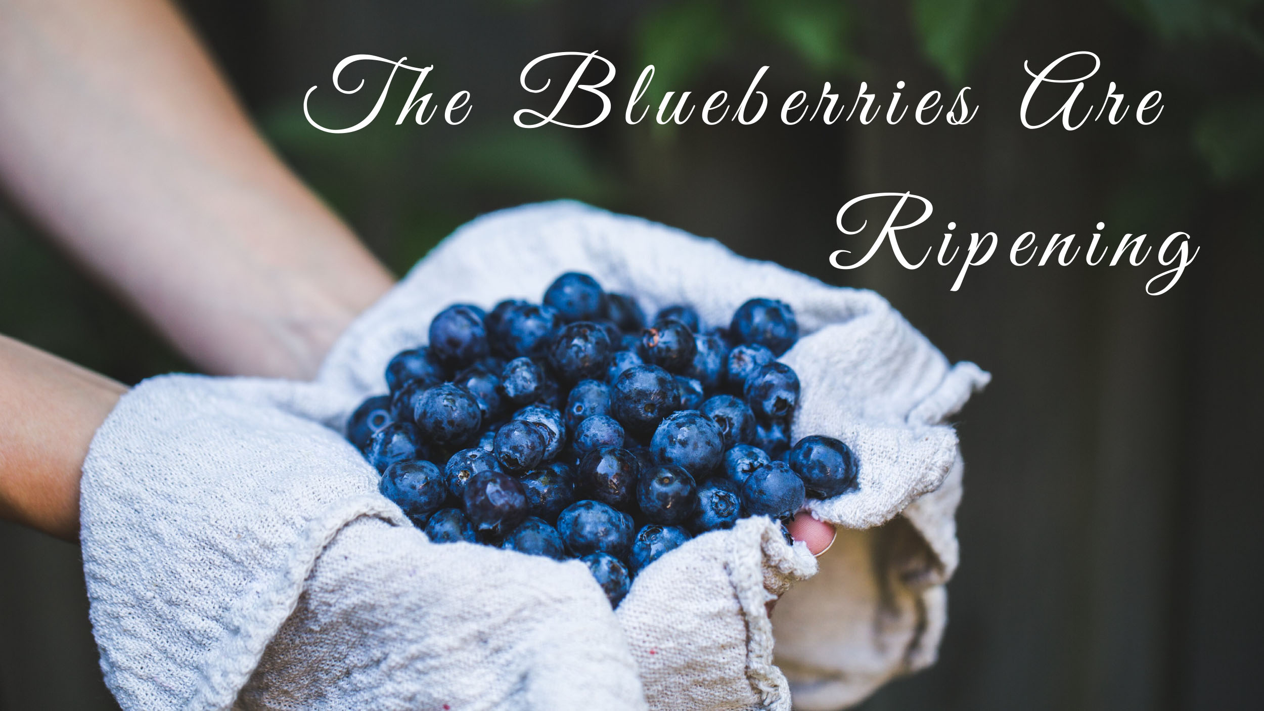 The Blueberries are Ripening