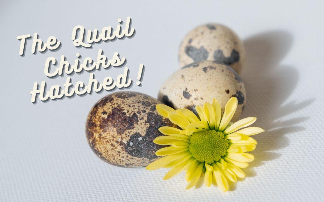 quail chicks hatched