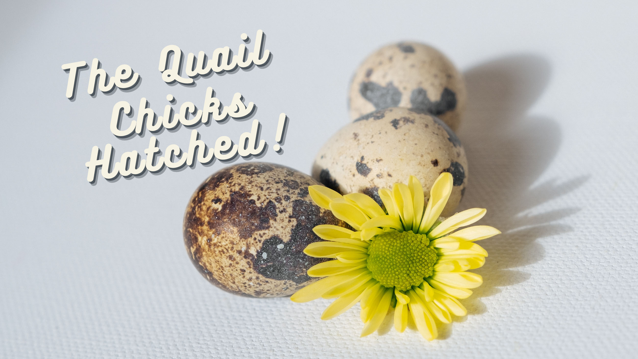Quail Chicks Hatched – WOW!