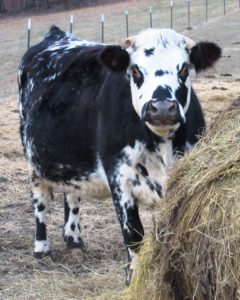 lilly normande cow